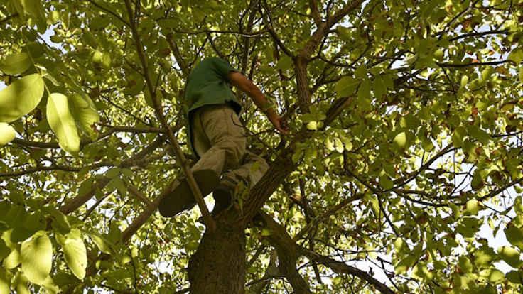 Kastamonu'da gündem: Ağaçtan düşme
