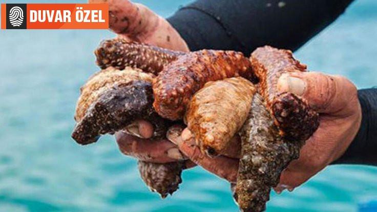 Aydın'da 'deniz patlıcanı' krizi
