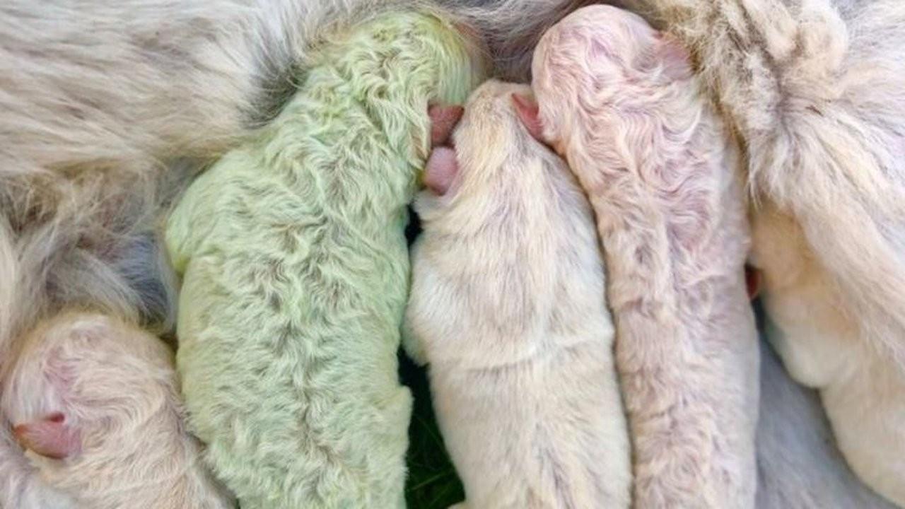 İtalya'da bir köpek yeşil yavru doğurdu