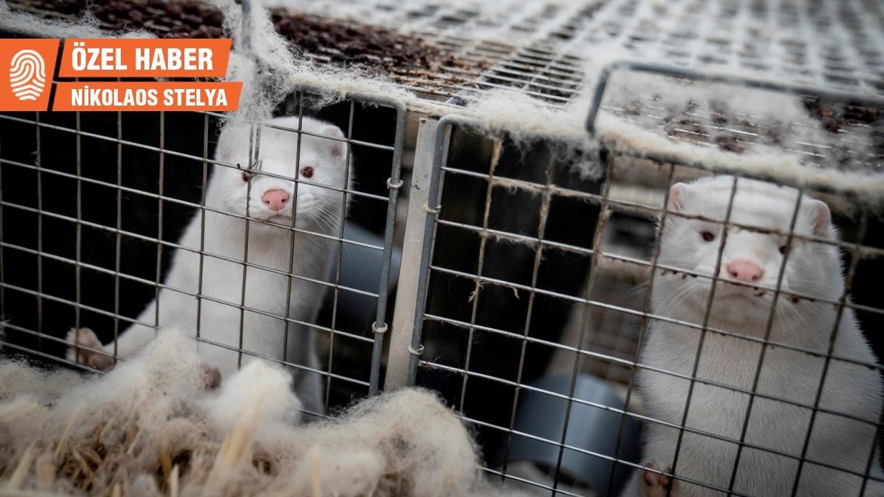 Yunanistan'da korona hayvanları vurdu: Binlerce vizon öldürülüyor
