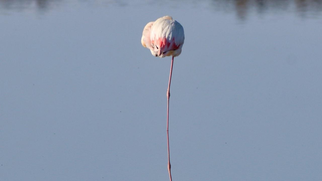 'Büyük flamingo' Ağrı Dağı'nda beslenirken görüntülendi