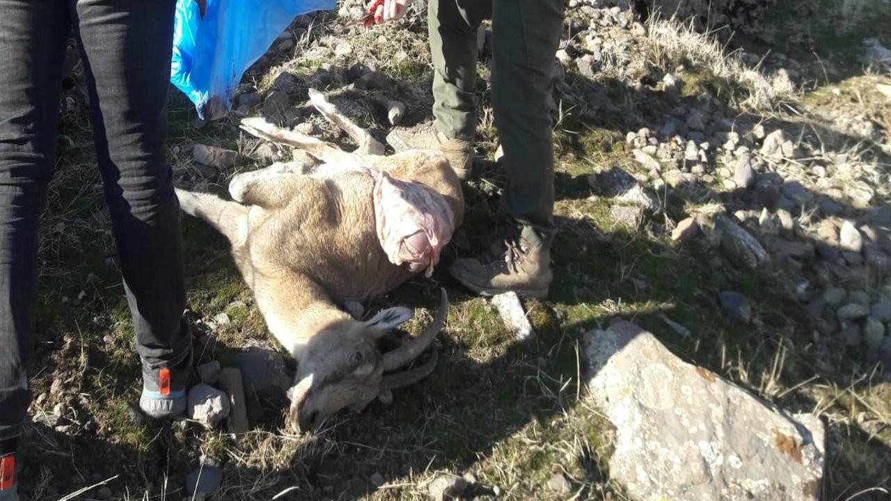 Dersim'de 8 dağ keçisi ölü bulundu