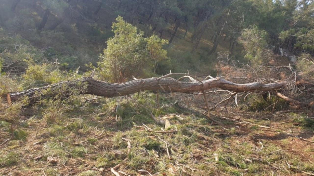 Çam ağaçları taş ve mermer ocakları için mi kesildi?