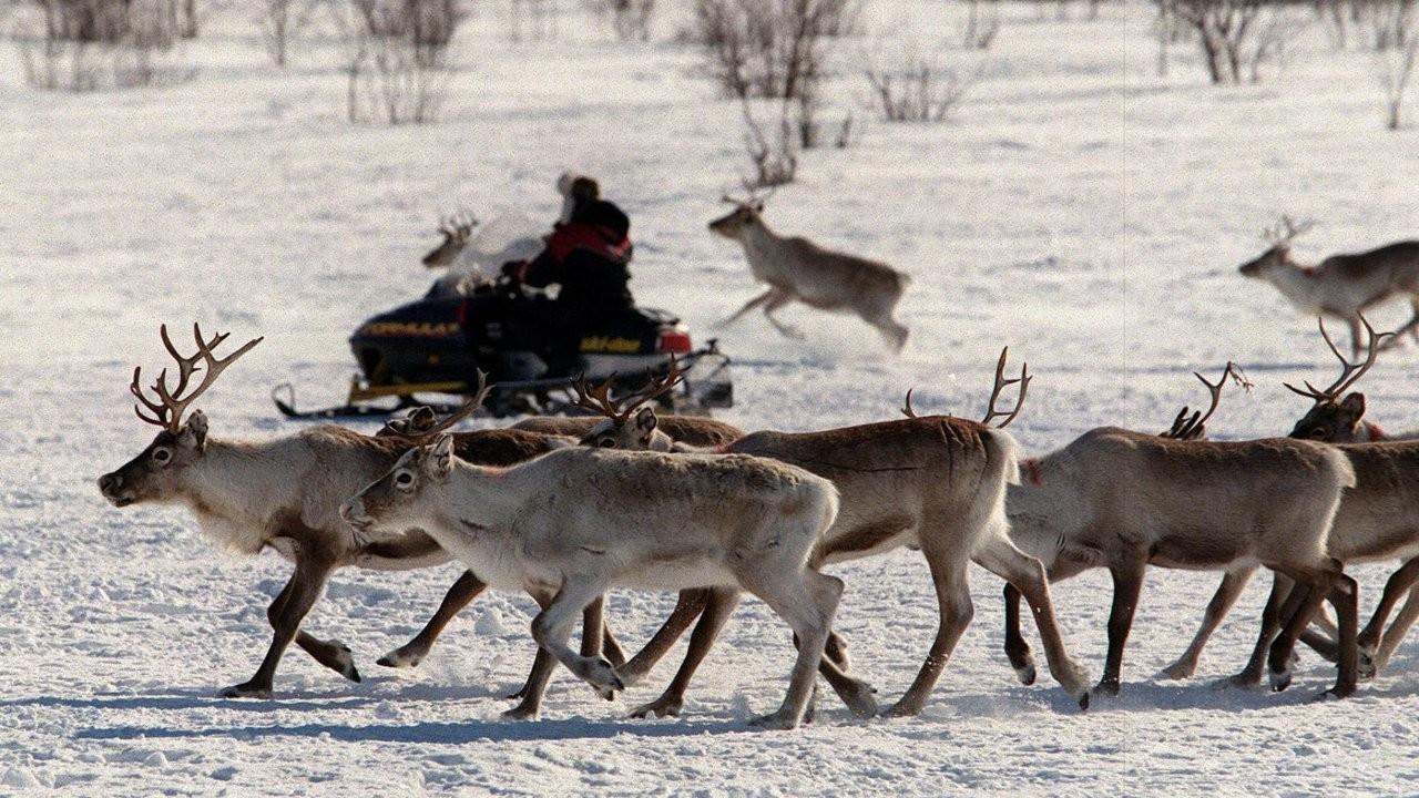 İsveç'te küresel ısınmadan dolayı yemek bulamayan ren geyikleri için 12 köprü inşa edilecek