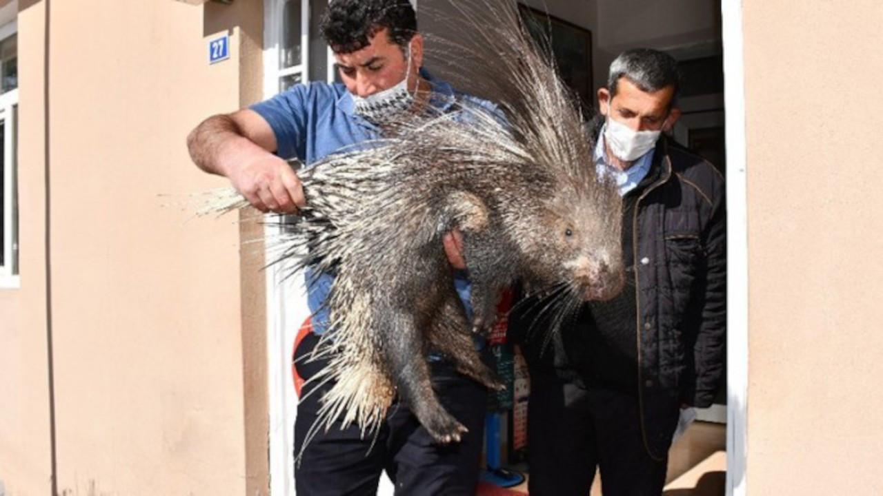 Şırnak'ta yaralı oklu kirpi bulundu