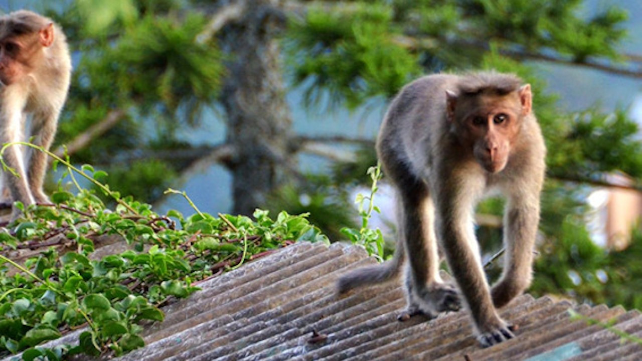 İddia: Hindistan'da maymunlar ikiz bebeklerden birini kaçırıp öldürdü