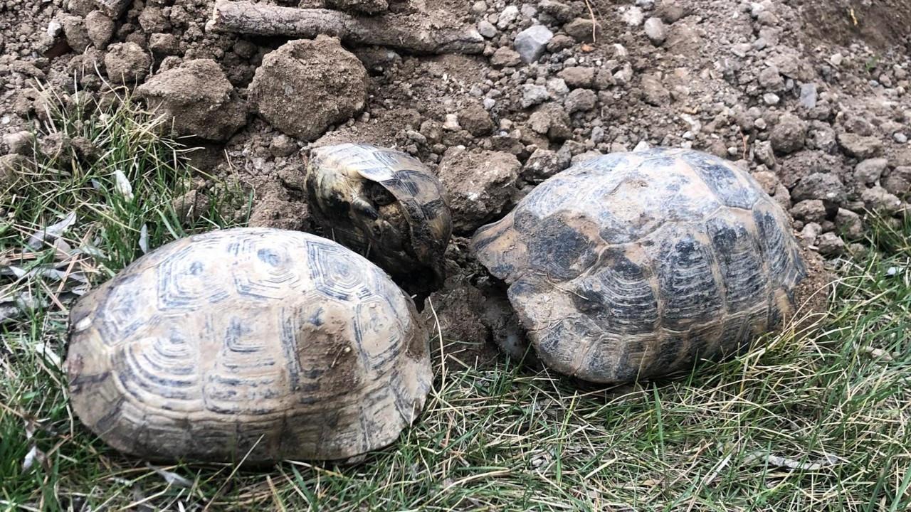 Baz istasyonu için izinsiz ağaç kestiler, onlarca kaplumbağa öldü