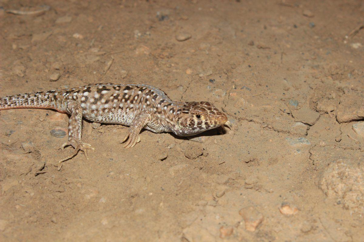 Malatya'da yeni bir kertenkele türü kayıt altına alındı - Sayfa 2