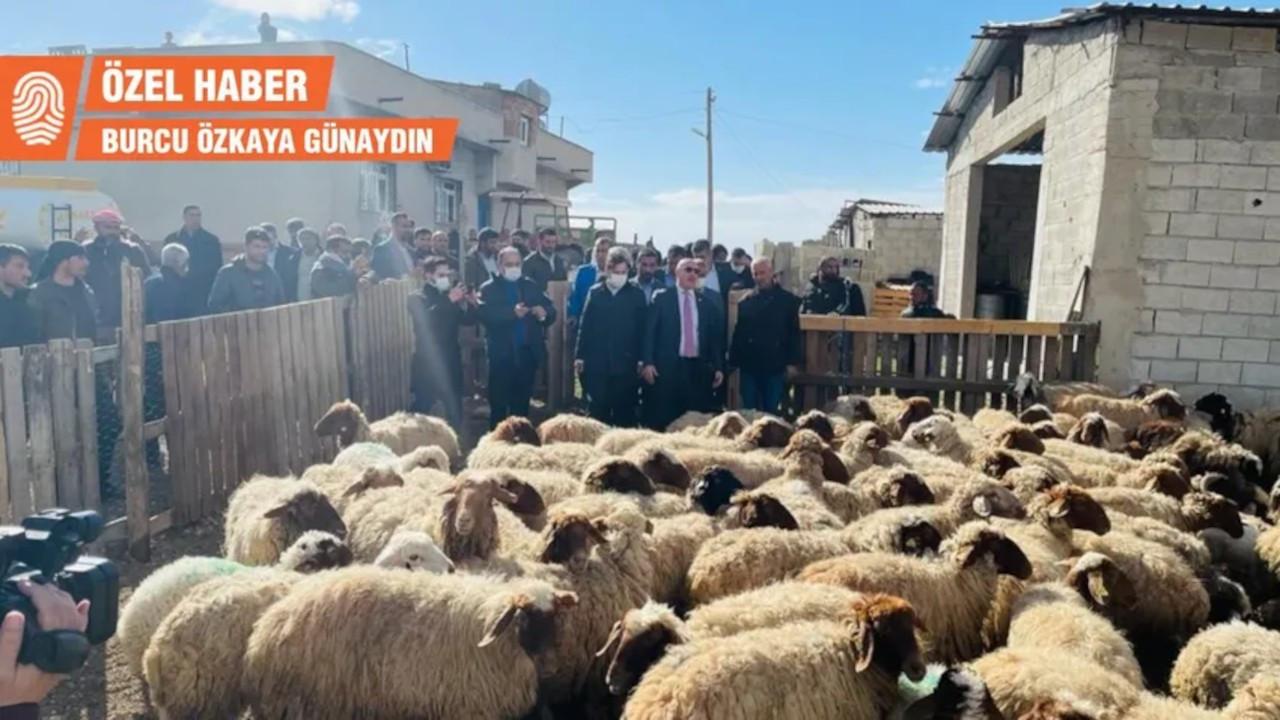 Karataş Köyü Muhtarı: Ceylanpınar'da şu an en az 82 koyun gözaltında