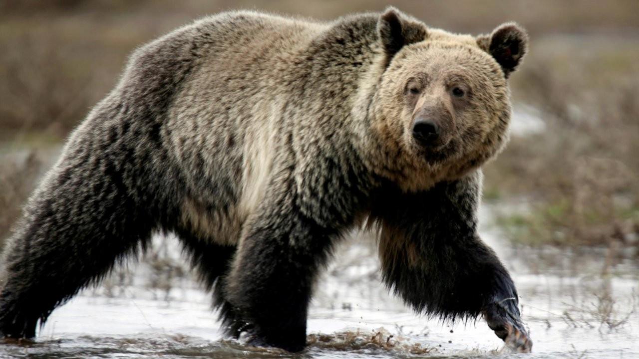 ABD'de ayı saldırısı sonucu bir kişi öldü