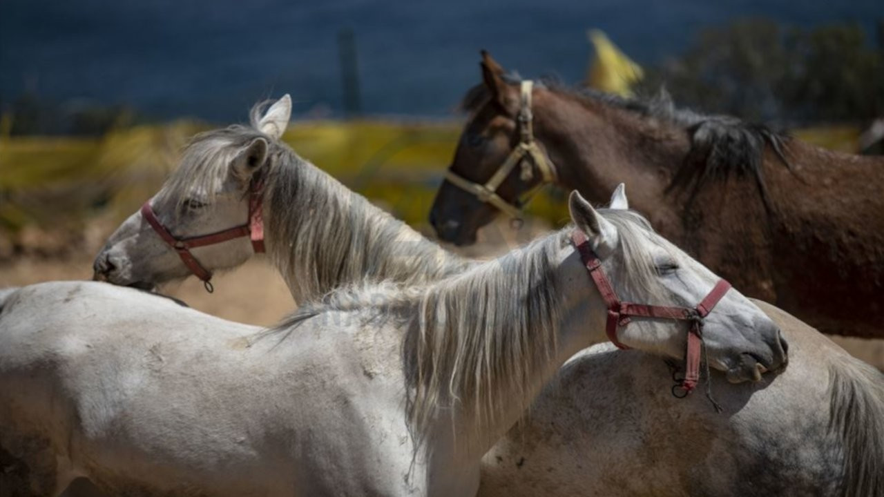 İddia: Kayıp atların 80'i Irak'a satıldı, bazıları kıyma-kuşbaşı oldu