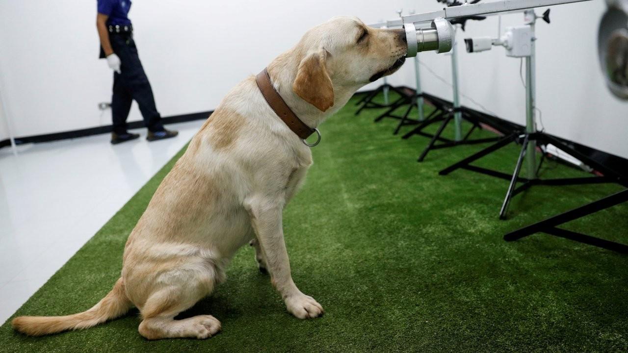Araştırma: Özel eğitimli köpekler Covid'in kokusunu alıyor