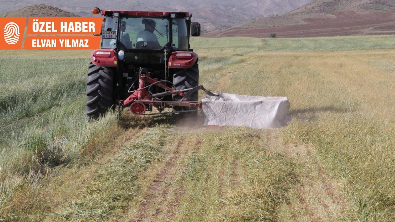 Kuraklık tarımı vurdu: Tarladan buğday değil saman çıkacak