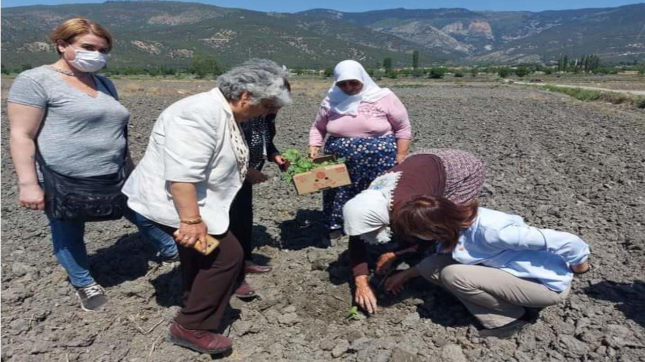 Devrez Çayı kurudu, 3 bin dönüm çeltik arazisi susuz kaldı