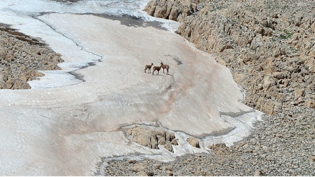 Dersim'de çengel boynuzlu dağ keçileri görüntülendi