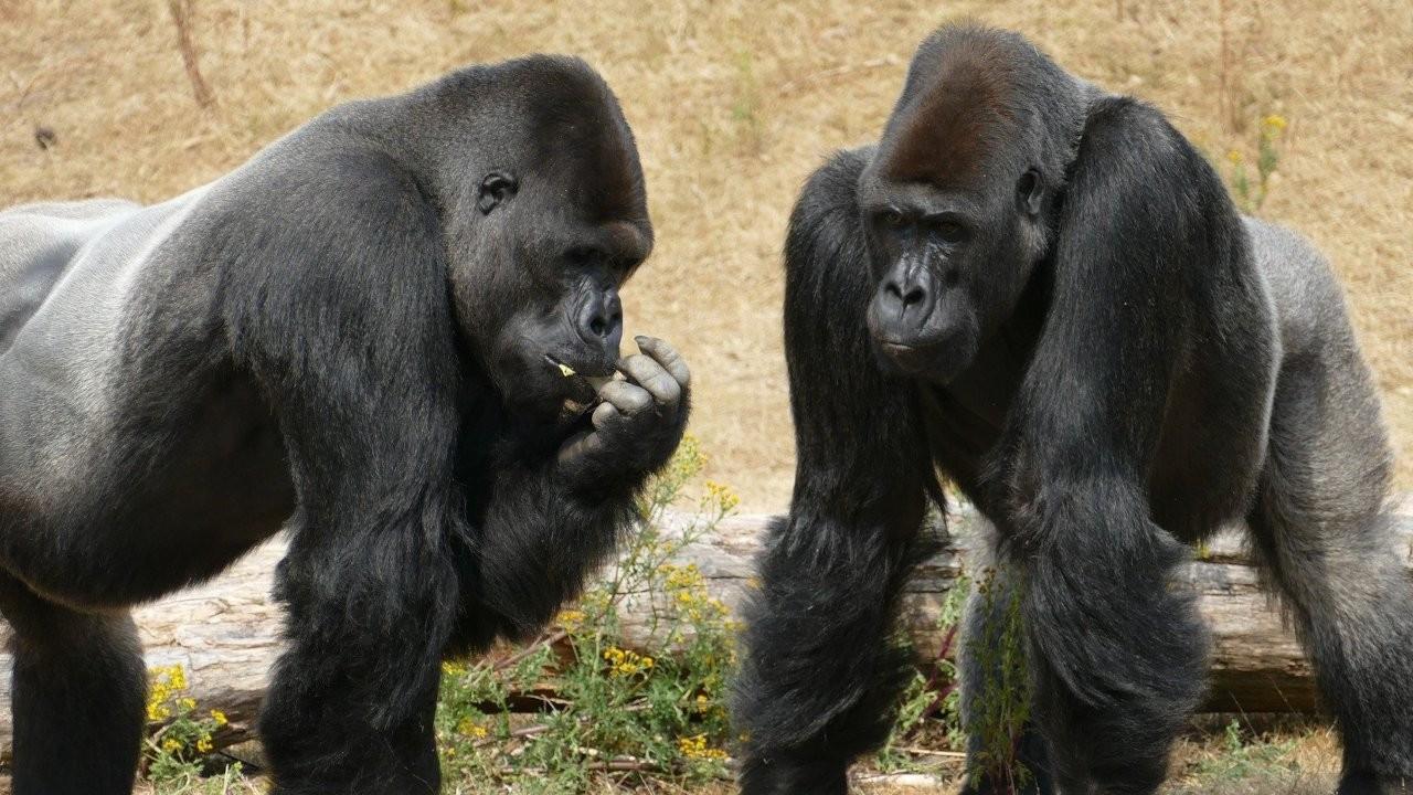 Afrika'daki büyük insansı maymunların yaşam alanları yok olmak üzere