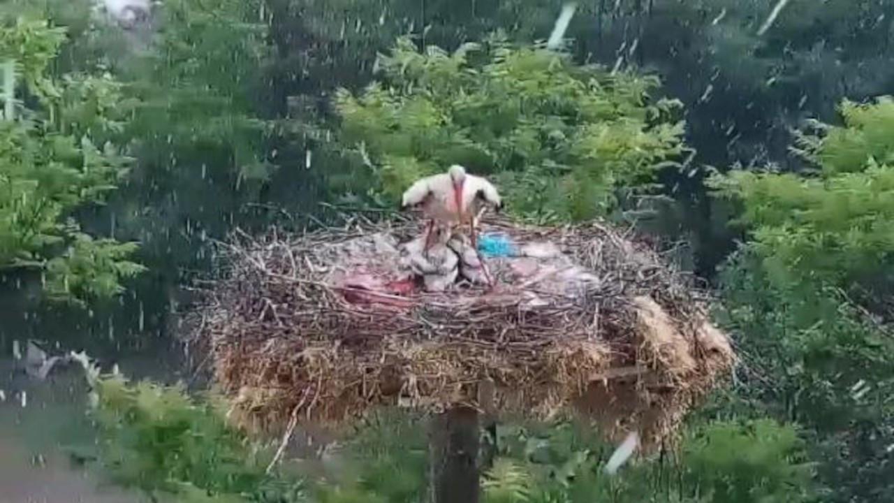 Yaren leyleğin yavrularını doludan koruduğu anlar görüntülendi