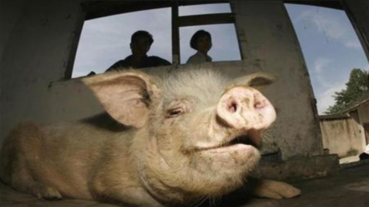 Çin'de 36 gün sonra enkazdan kurtarılan domuz 14 yaşında öldü