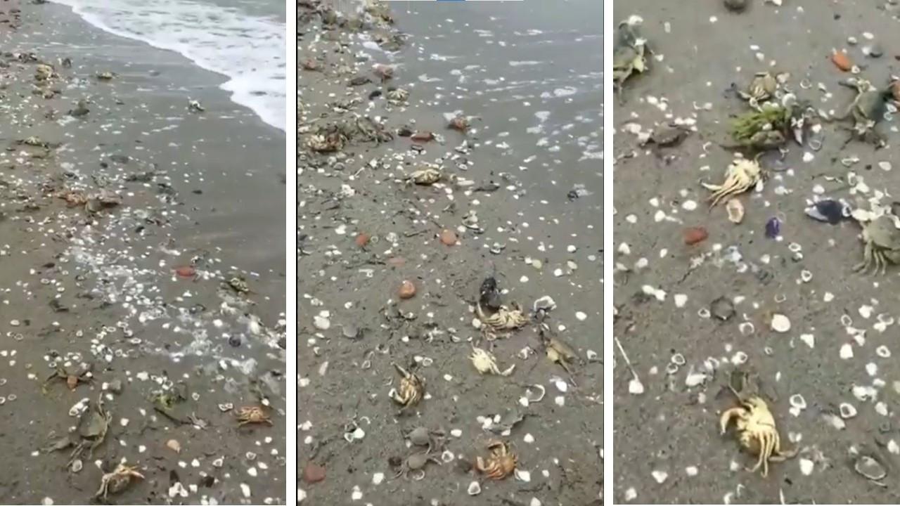 Marmara ölüyor: Yüzlerce yengeç can vererek Silivri kıyılarına vurdu