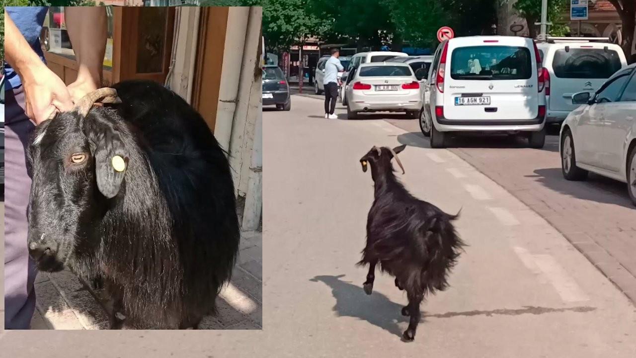 Otomobilden firar eden keçi, telefoncuda yakalandı