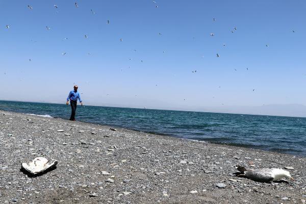 Van Gölü'nde toplu martı ölümleri: Açlığa bağlı stres - Sayfa 1