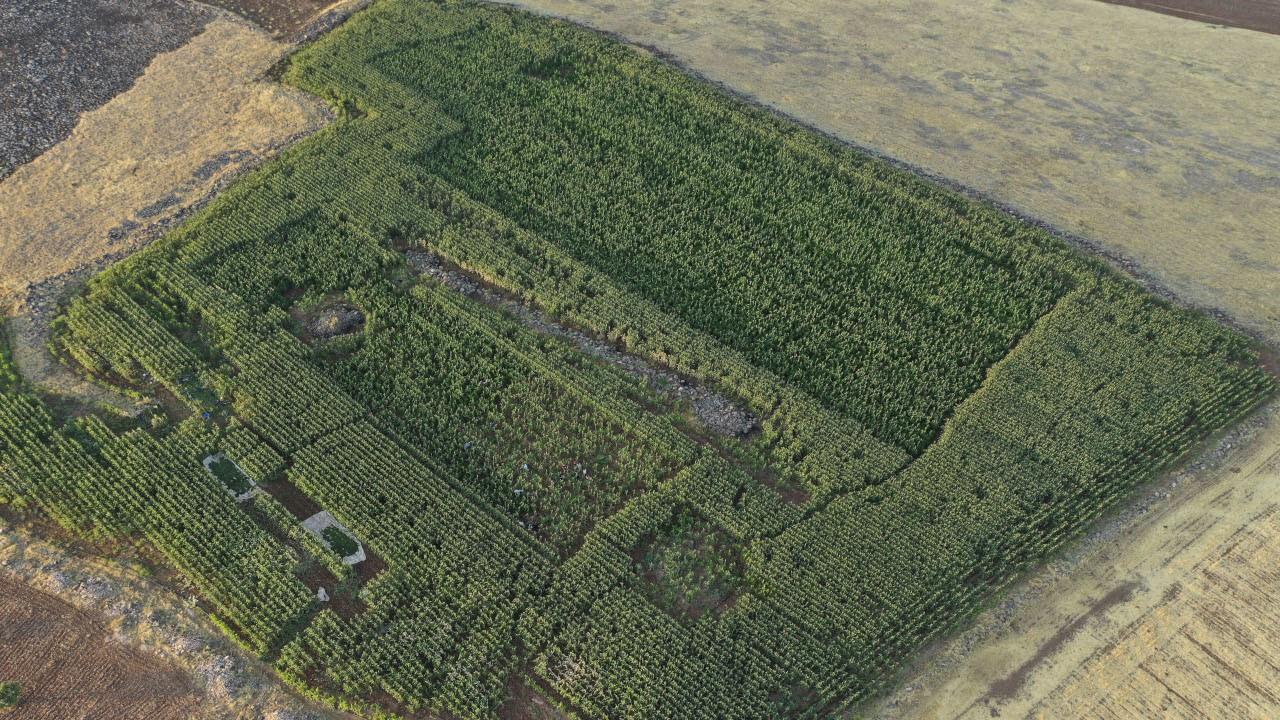 Şanlıurfa'da mısır tarlasında 190 bin kök Hint keneviri ele geçirildi