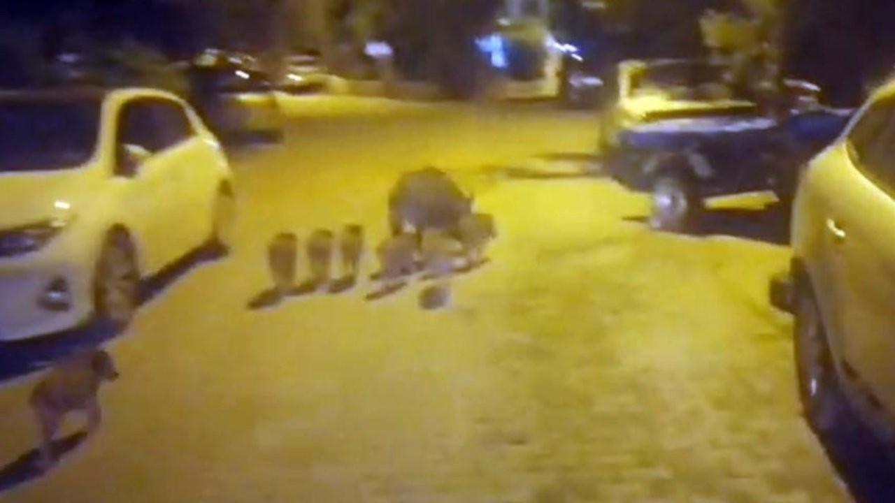 Kaz Dağları'nda aç kalan domuzlar Altınoluk'ta yiyecek aradı