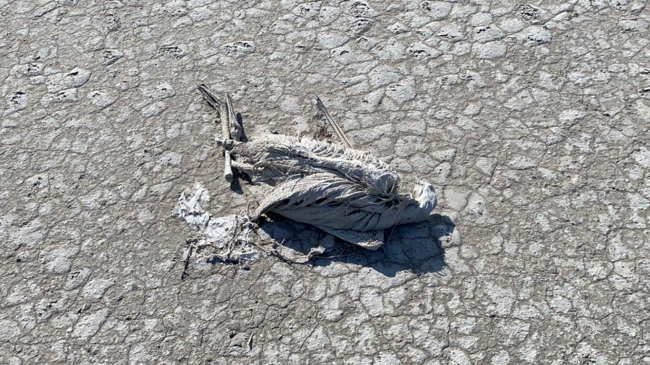 Çiftçiler Tuz Gölü'ne bent çekti, yavru flamingolar öldü