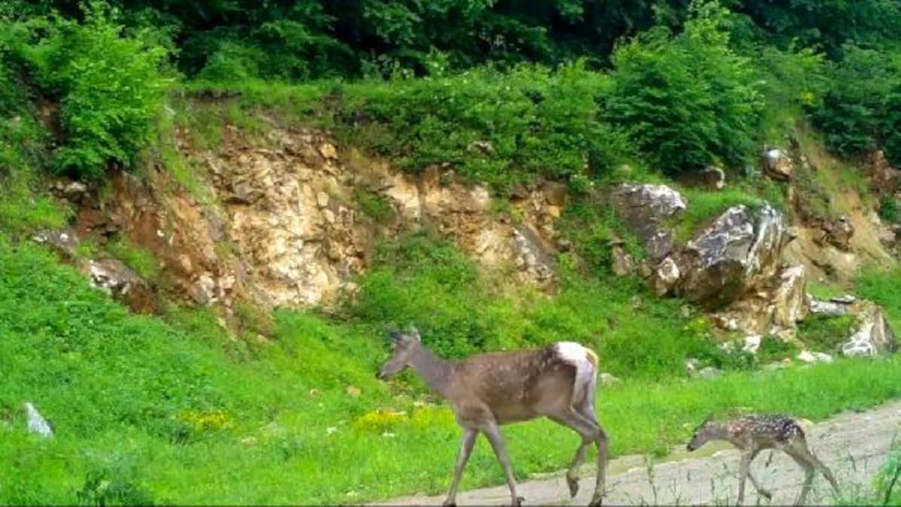 Kızıl geyikler fotokapana yakalandı