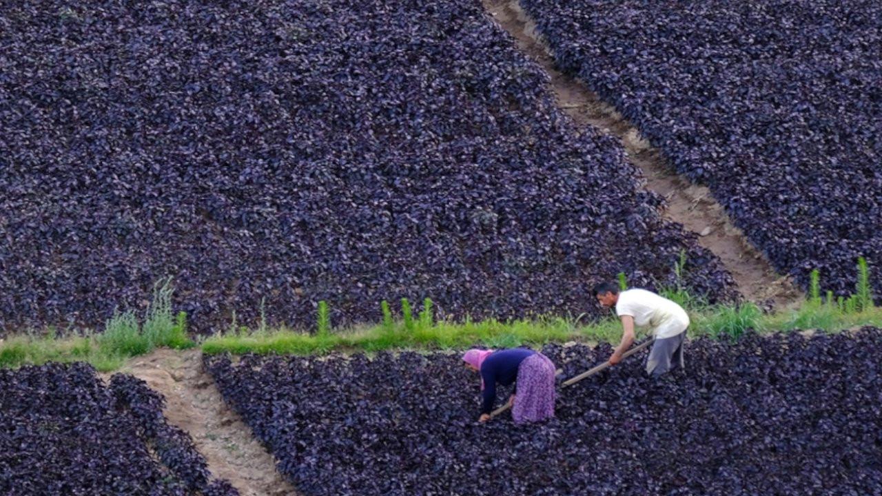Arapgir'in mor reyhanı hem sağlığa hem üreticiye iyi geliyor
