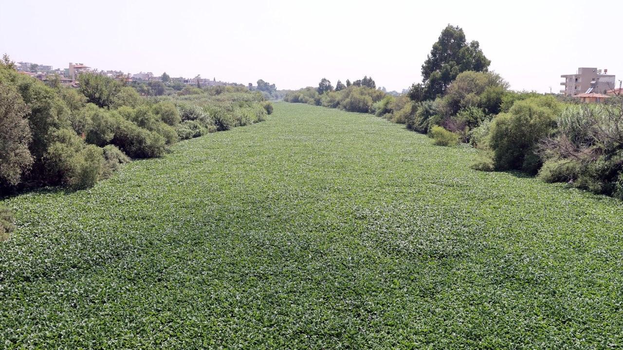 İstilacı su sümbülleri Asi Nehri'ni kapladı