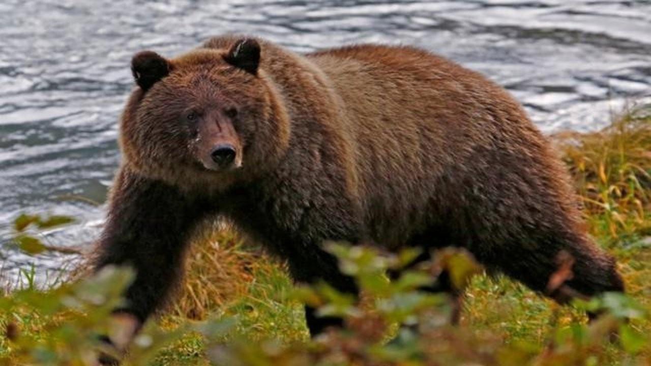Bir hafta boyunca ayı saldırısına uğrayan adam kurtarıldı