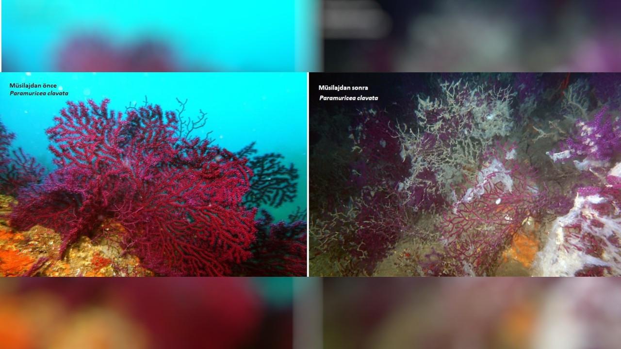 Marmara'da müsilaj bitmedi: Kırmızı mercanların büyük kısmı öldü