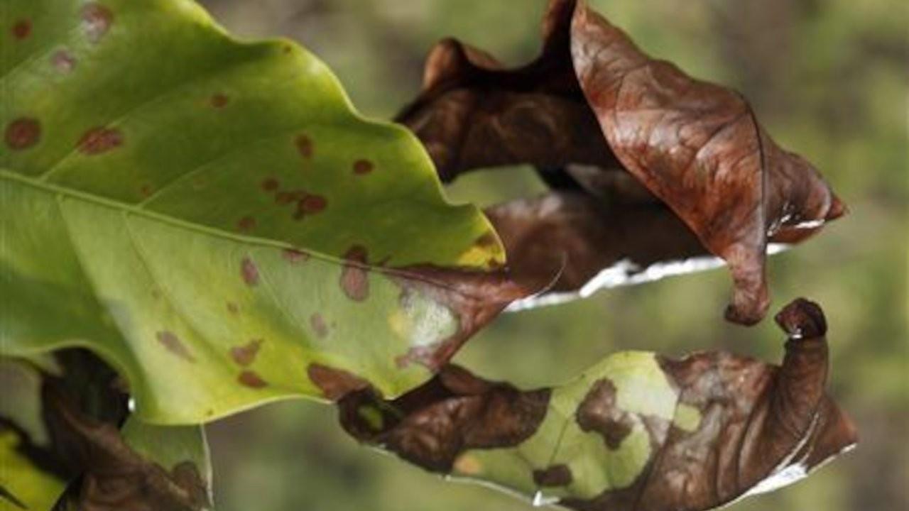 İklim değişikliği bitki hastalıklarının yayılmasını hızlandırabilir