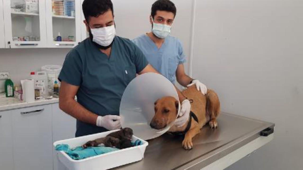 Acil servise gelen köpeğe veteriner doğum yaptırdı