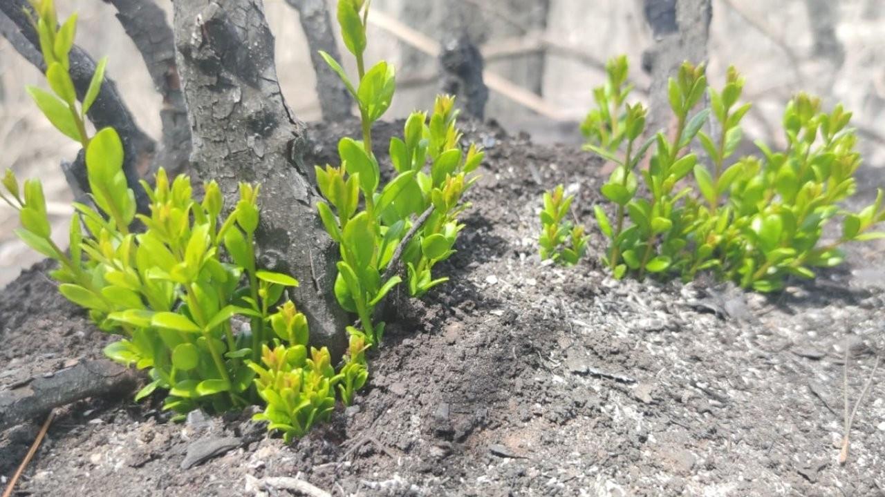 Yanan ormanlarda doğa yeniden canlanıyor