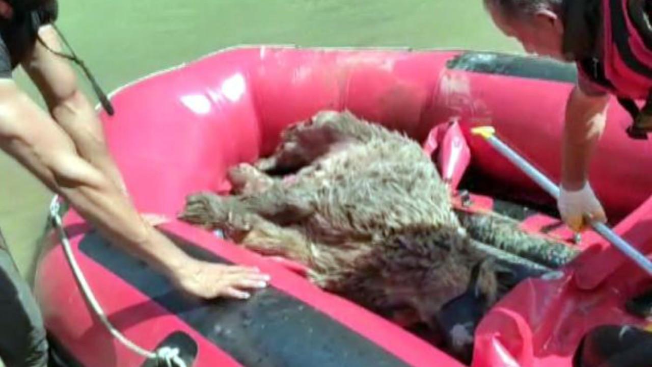 Zap suyunda sürüklenen ayıyı raftingciler kurtardı