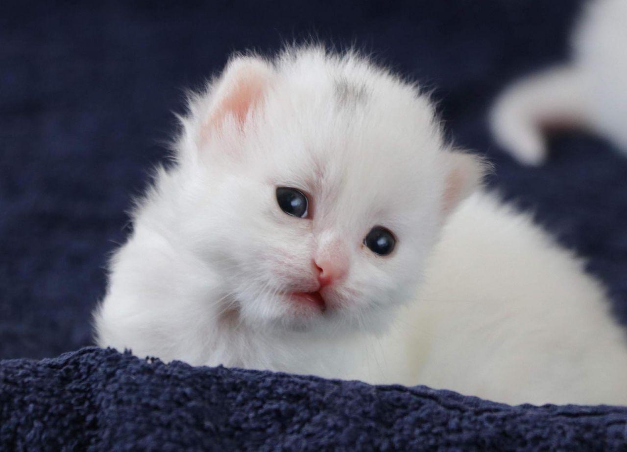 Helsinki Üniversitesi'nin araştırmasına tepki: Van kedisi en saldırgan değil en zeki kedidir - Sayfa 2