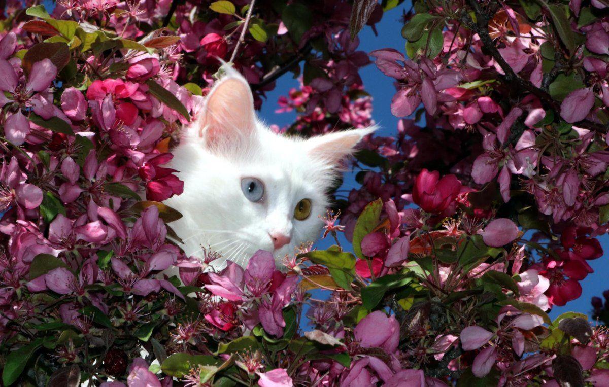 Helsinki Üniversitesi'nin araştırmasına tepki: Van kedisi en saldırgan değil en zeki kedidir - Sayfa 4