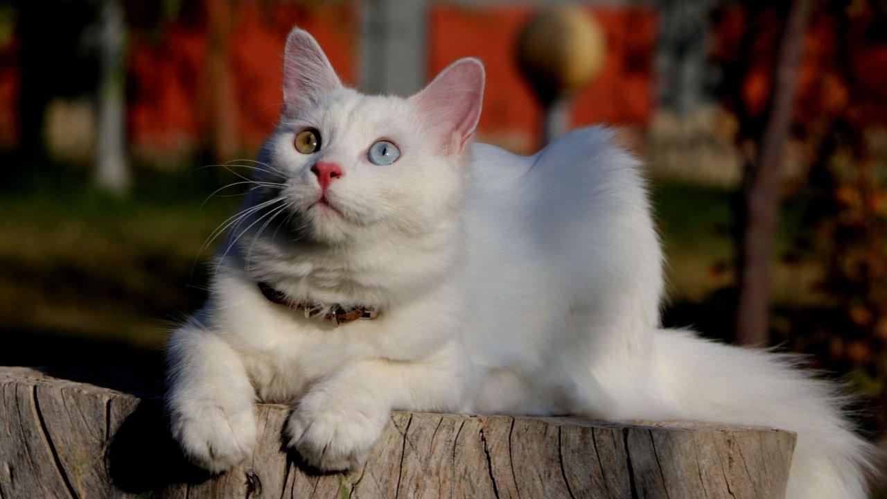 'En saldırgan kedi Van kedisi' diyen Helsinki Üniversitesi'ne tepki