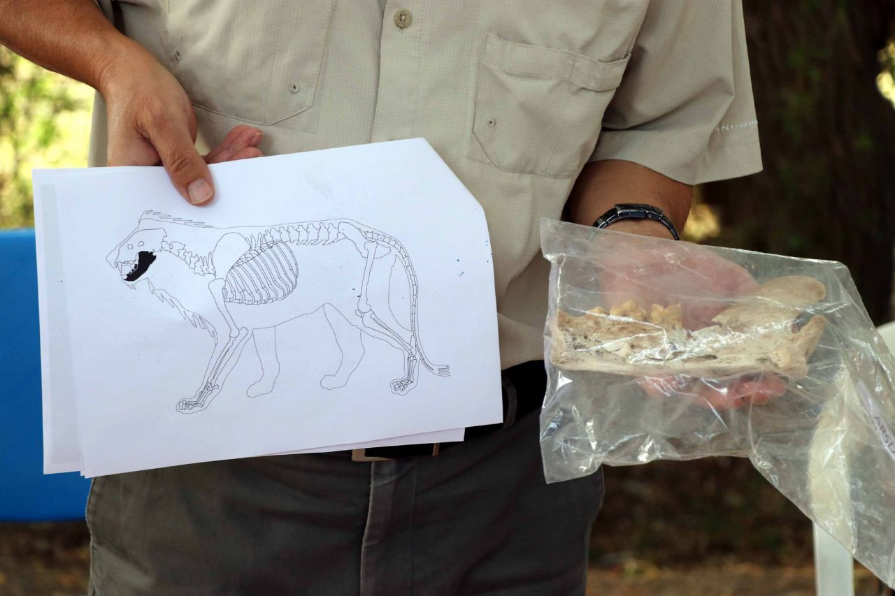 Kayseri'de 4 bin yıl öncesine ait aslan kemiği bulundu - Sayfa 4