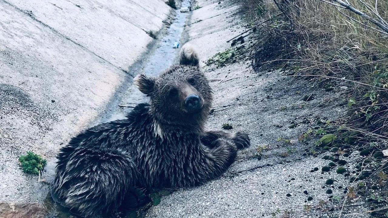 Bolu'da bir aracın çarpıp kaçtığı yavru ayı öldü