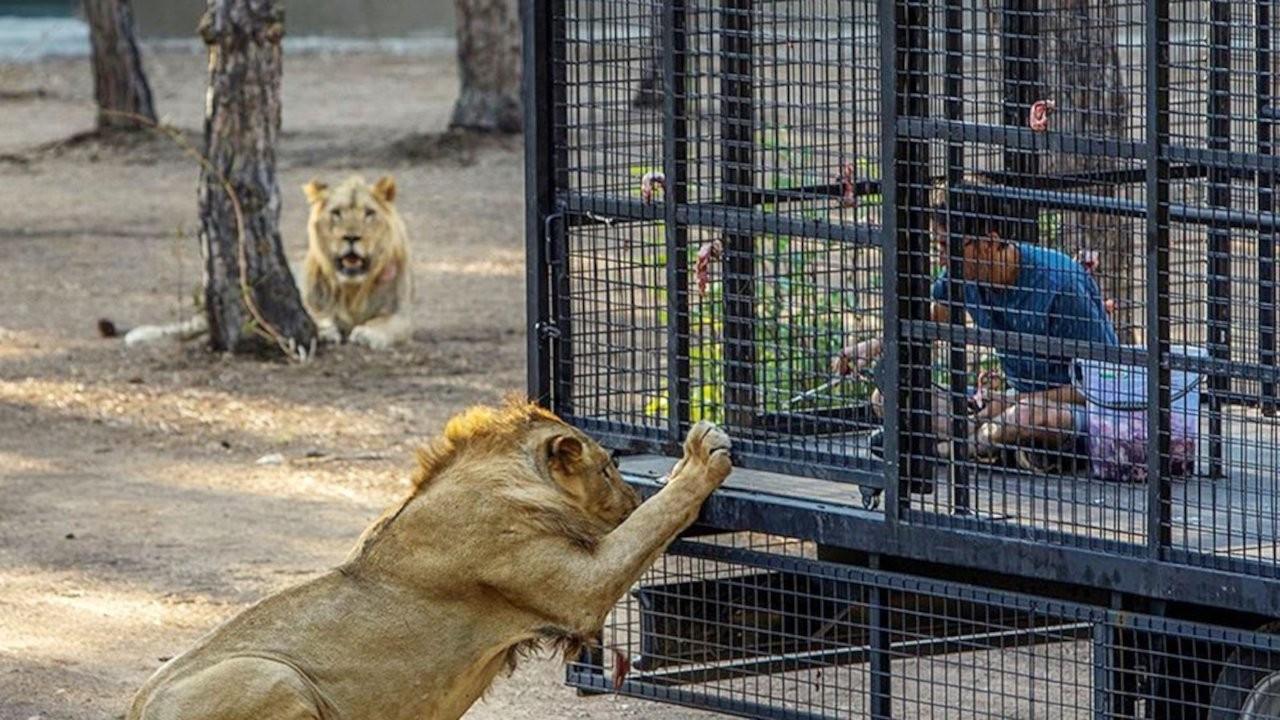 Antalya'da 'aslan safarisi'ne tepki: Buna nasıl izin verildi?