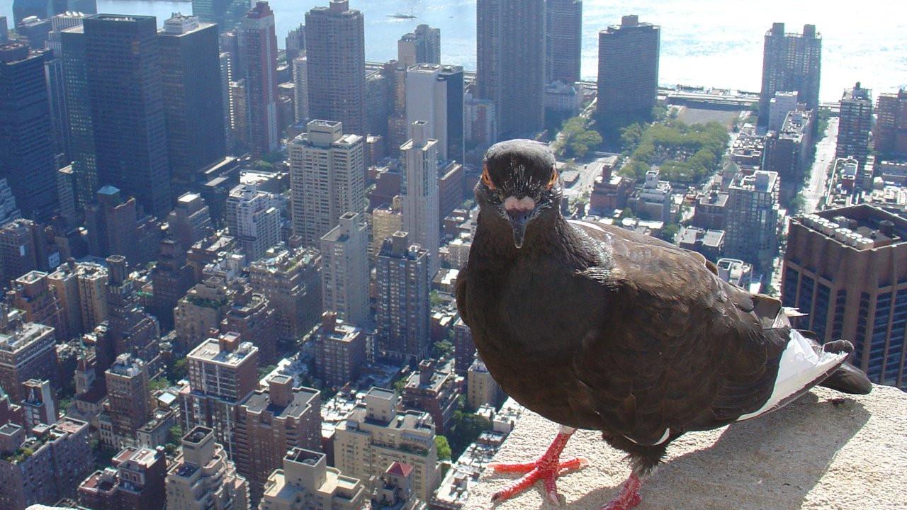 Drone saldırılarına karşı kamikaze güvercinler eğitiliyor