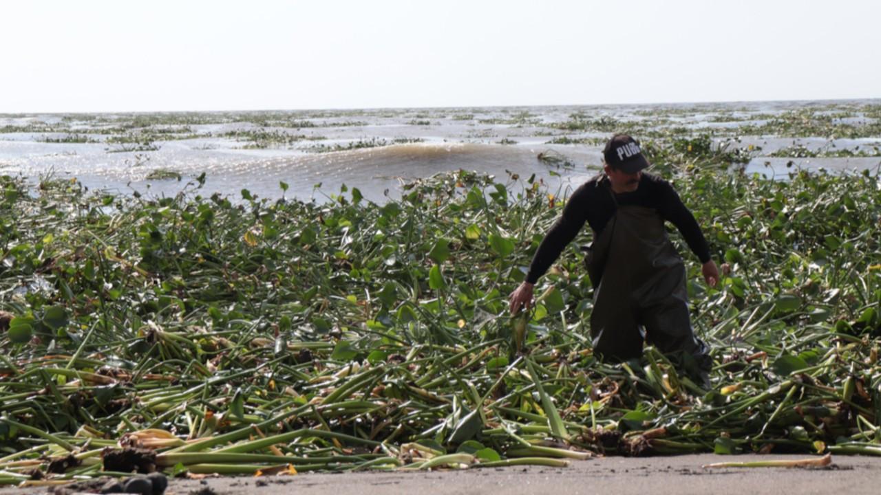 AsiNehri taştı Samandağ sahilini su sümbülü kapladı