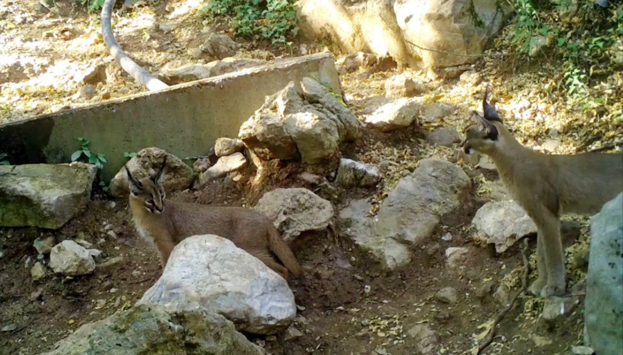 'Ormanın hayalet kedisi' ailecek görüntülendi - Sayfa 1