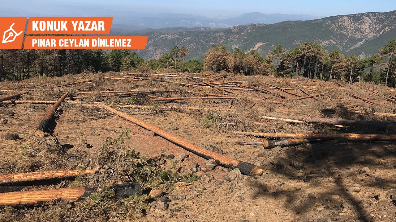 Yangın mağduru Sandras'ın ağaçları neden kesiliyor?