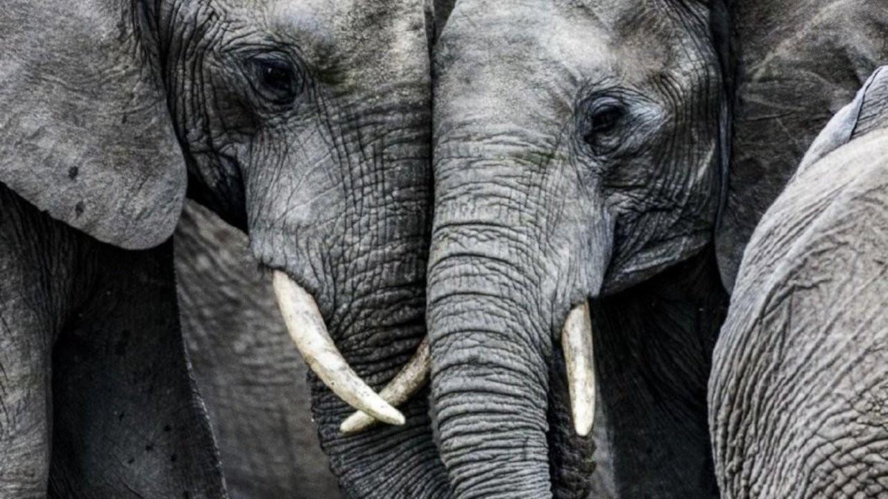 Filler insanlıktan korunmak için mutasyon geçirdi: Artık dişsiz doğuyorlar